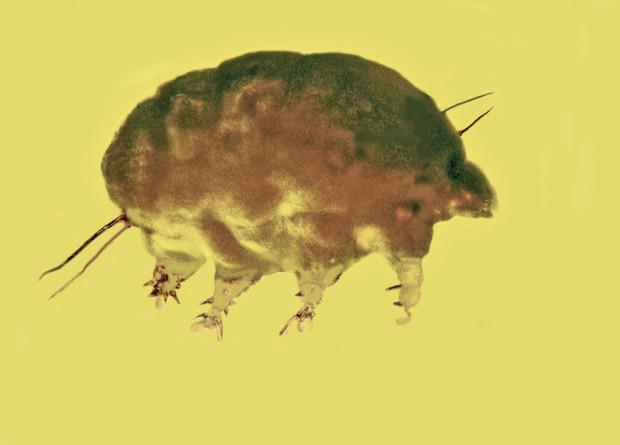 В янтаре обнаружили микро-свинью возрастом 30 миллионов лет