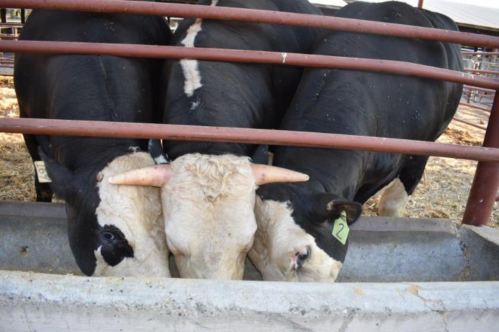 Генетики вывели безрогих быков