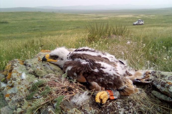 В России собирают орлам на мобильный телефон