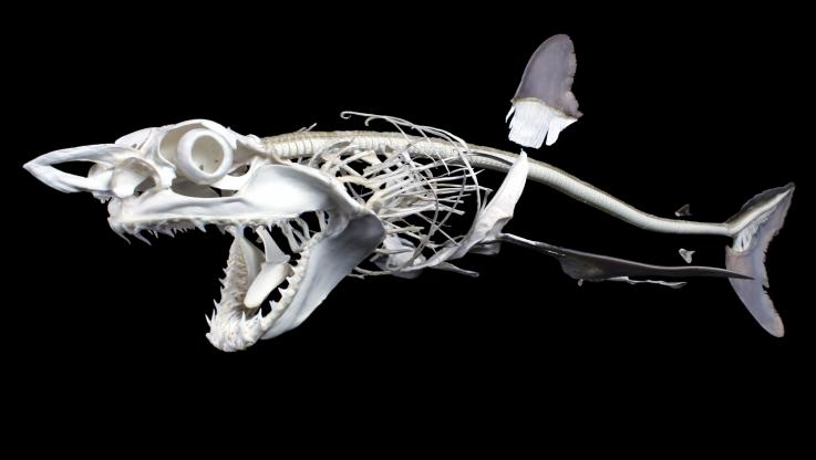 скелет акулы-мако