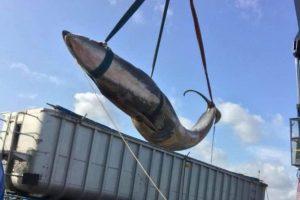 В Темзе нашли второго мертвого кита за месяц
