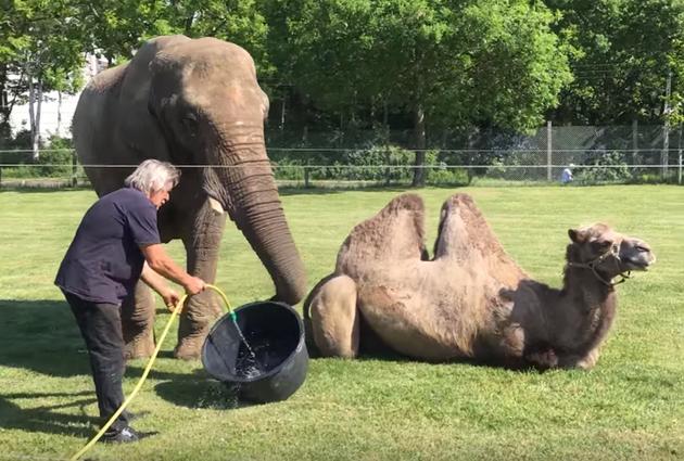 Цирковую слониху в Дании выкупили с другом-верблюдом