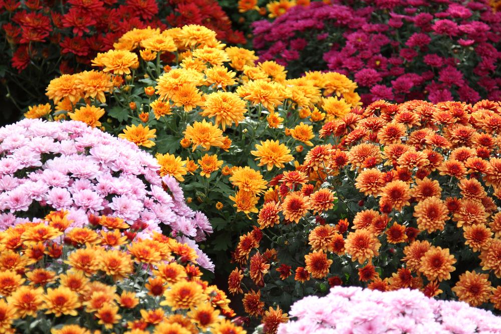 В Киеве на Певческом поле началась выставка хризантем