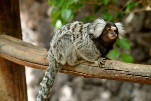 Мартышки меняют «акцент» в зависимости от места обитания