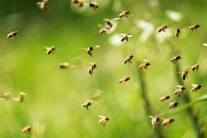 Как первая пчела-инфлюенсер спасает свой вид