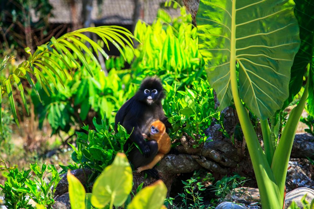 В австралийском зоопарке родилась редчайшая обезьяна