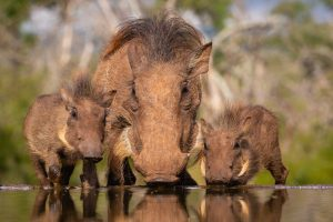 Свиньи умеют копать ямы с помощью коры и палок