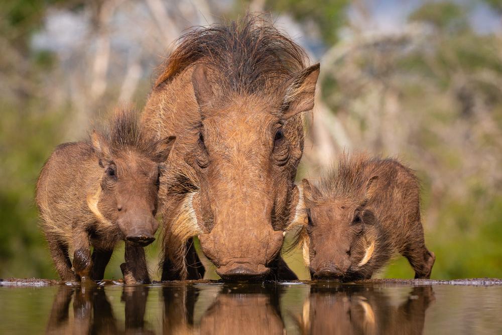 Свиньи умеют копать ямы с помощью коры и палок.Вокруг Света. Украина