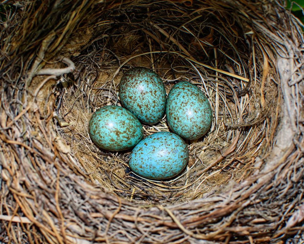 Биологи объяснили, почему птичьи яица разноцветные.Вокруг Света. Украина