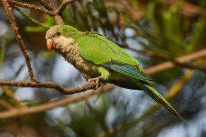 Мадрид начинает борьбу с зелеными попугаями