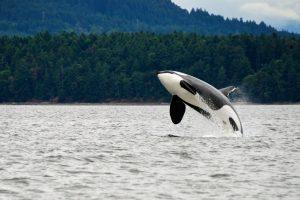 В прибрежные воды США заплыла редкая белая косатка