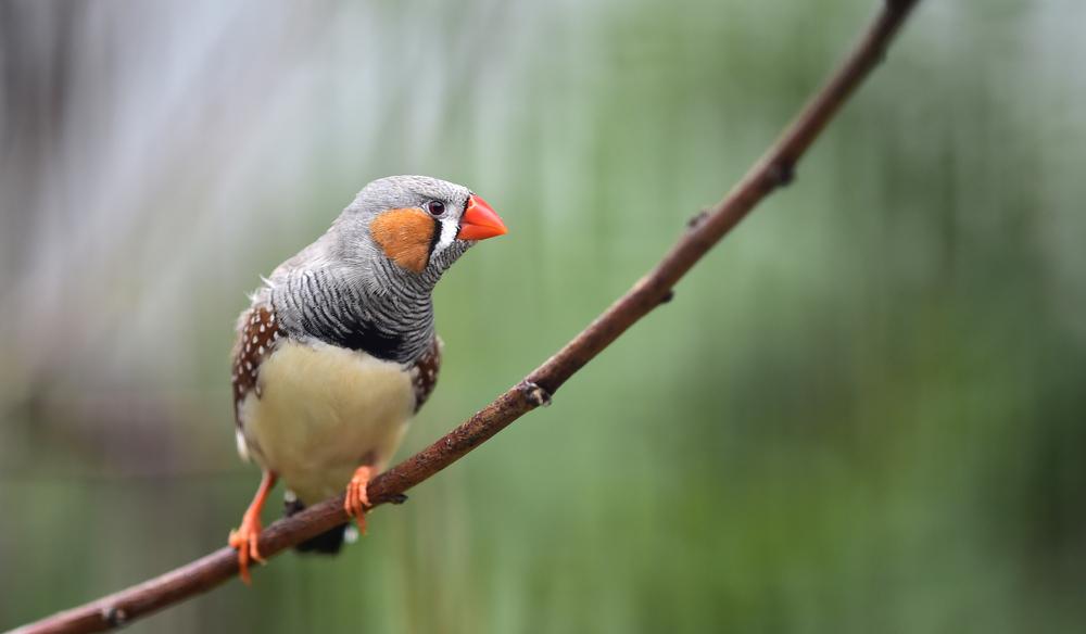 Генетики обучили птиц пению, внедрив в их мозг воспоминания