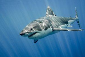 Большие белые акулы тоже заводят друзей
