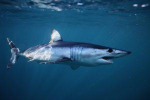 Как выглядит скелет самой быстрой акулы в мире