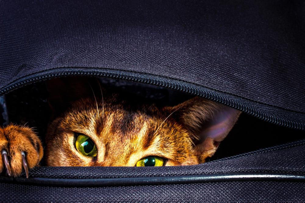 Кот-безбилетник забрался в сумку к хозяевам - его обнаружили в аэропорту