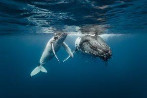 Горбатые киты охотятся с помощью сети из пузырьков (видео)