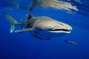 Новый вид ракообразных обнаружили в пасти акулы