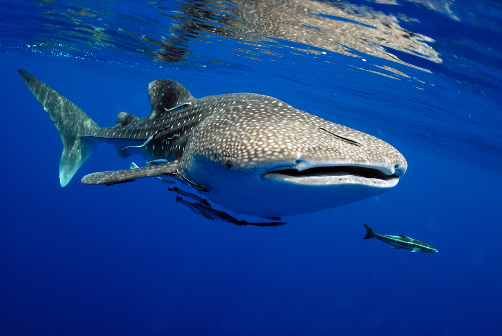 Новый вид ракообразных обнаружили в пасти акулы.Вокруг Света. Украина