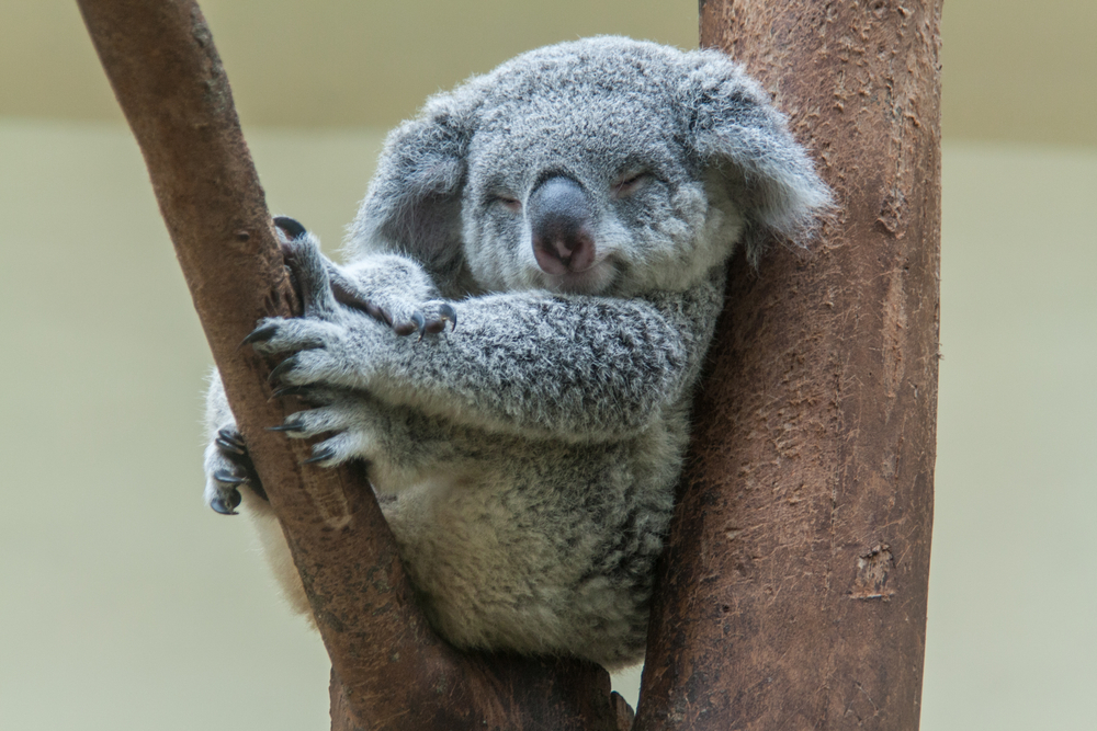 В Австралии погибли сотни коал из-за лесного пожара