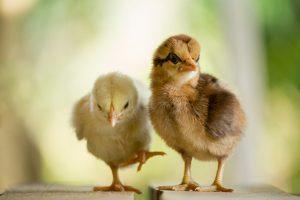 Биологи выяснили, почему цыплята умеют защищаться