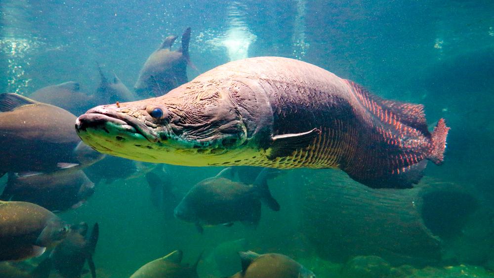 Почему «бронежилет» рыбы арапаймы не по зубам пиранье? – исследование