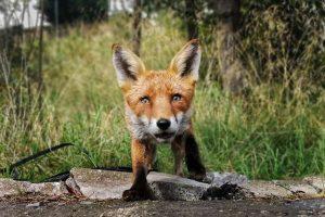 В Шотландии лиса украла телефон и сняла короткометражку