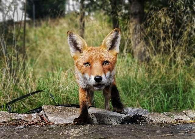 В Шотландии лиса украла телефон и сняла короткометражку.Вокруг Света. Украина