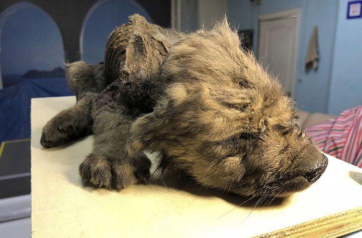 В Сибири нашли щенка возрастом 18 тысяч лет