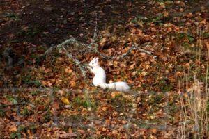 В лесах Шотландии сфотографировали редкостную белую белку
