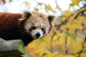 Во Франции из зоопарка сбежала редкая красная панда