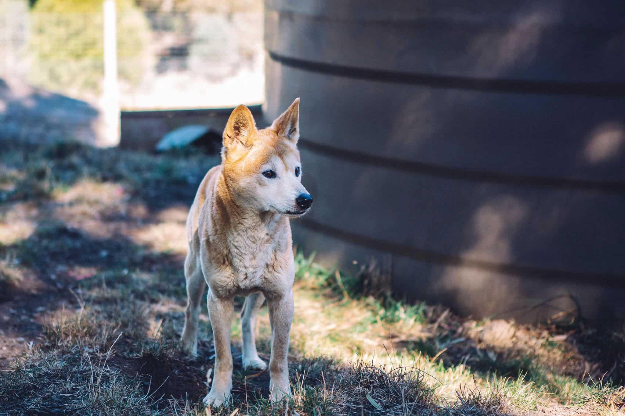 Бездомный австралийский щенок оказался чистокровным динго.Вокруг Света. Украина