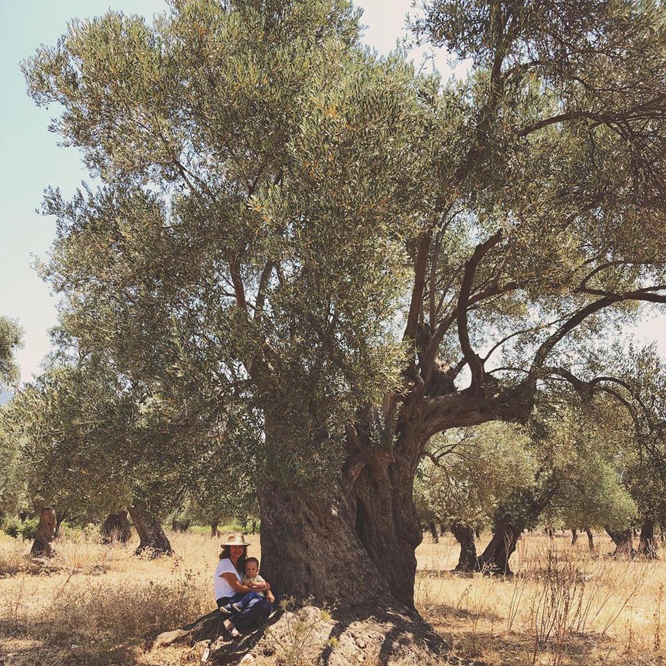Ученые определили старейшее оливковое дерево Турции - ему 3 тысячи лет