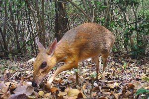Во Вьетнаме сняли «вымершего» оленя размером с кролика