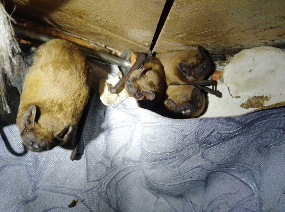 На балконе у киевлянина нашли колонию летучих мышей