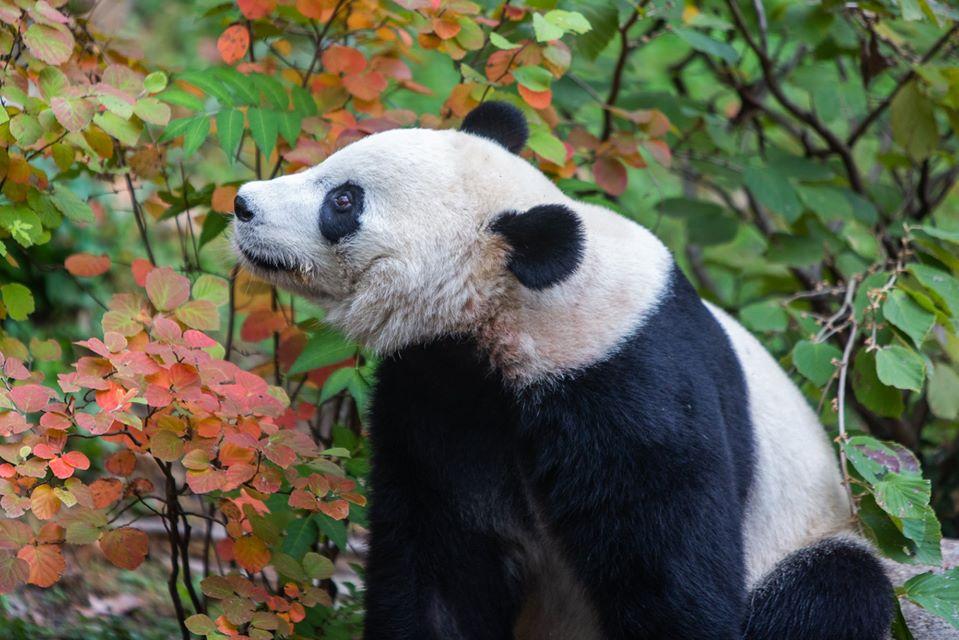 Панда Бей Бей навсегда улетает из Вашингтона в Китай.Вокруг Света. Украина