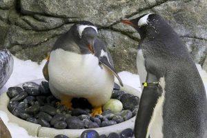 В Австралии однополая пара пингвинов «усыновила» второе яйцо