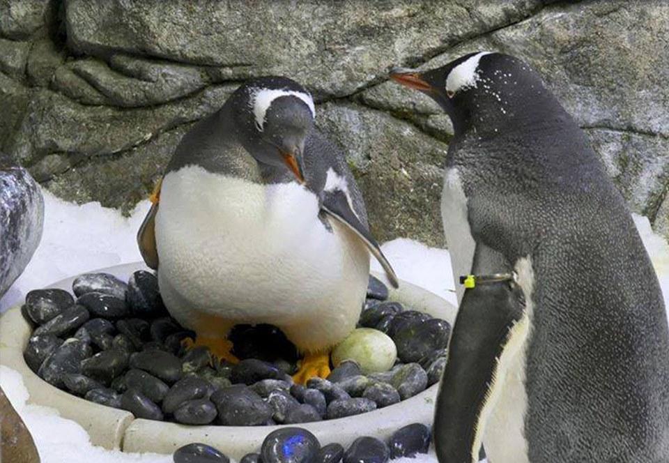 В Австралии однополая пара пингвинов «усыновила» второе яйцо.Вокруг Света. Украина