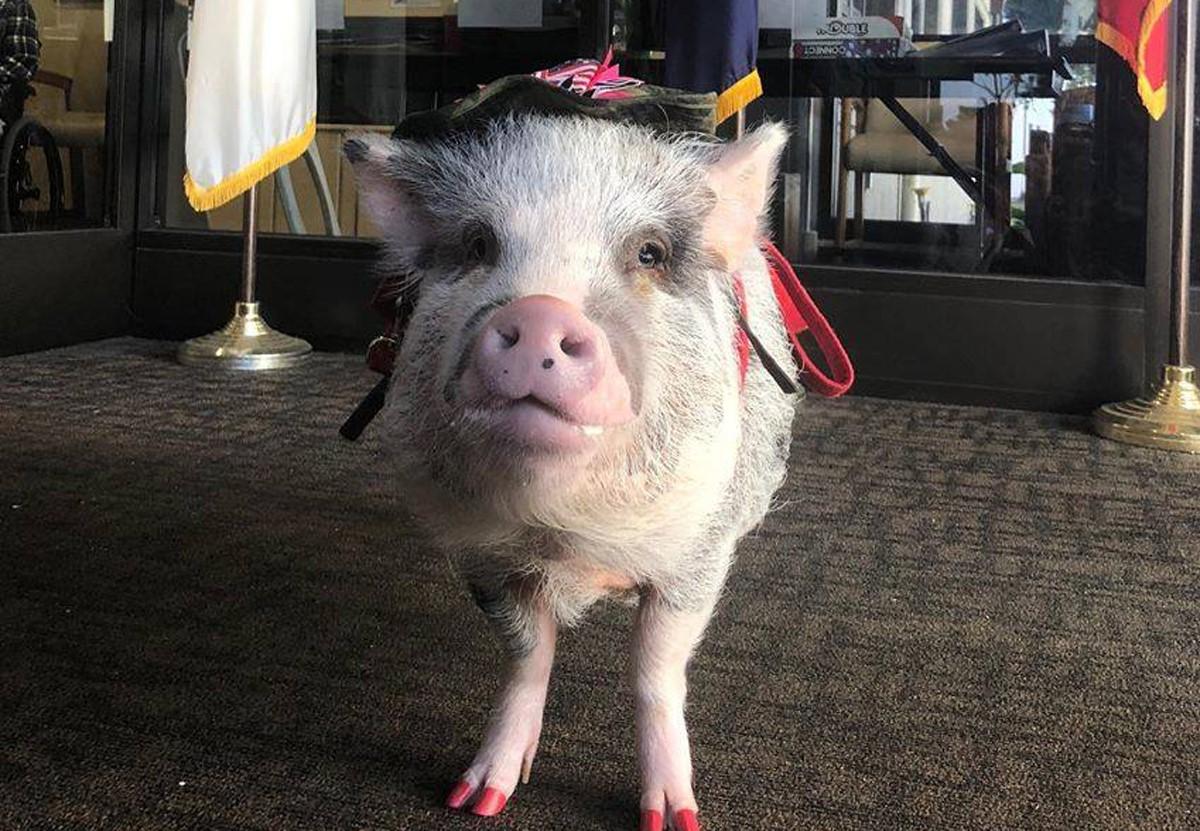 В аэропорту Сан-Франциско работает свинья-терапевт.Вокруг Света. Украина