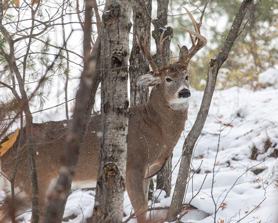 В лесу Мичигана запечатлели трехрогого оленя