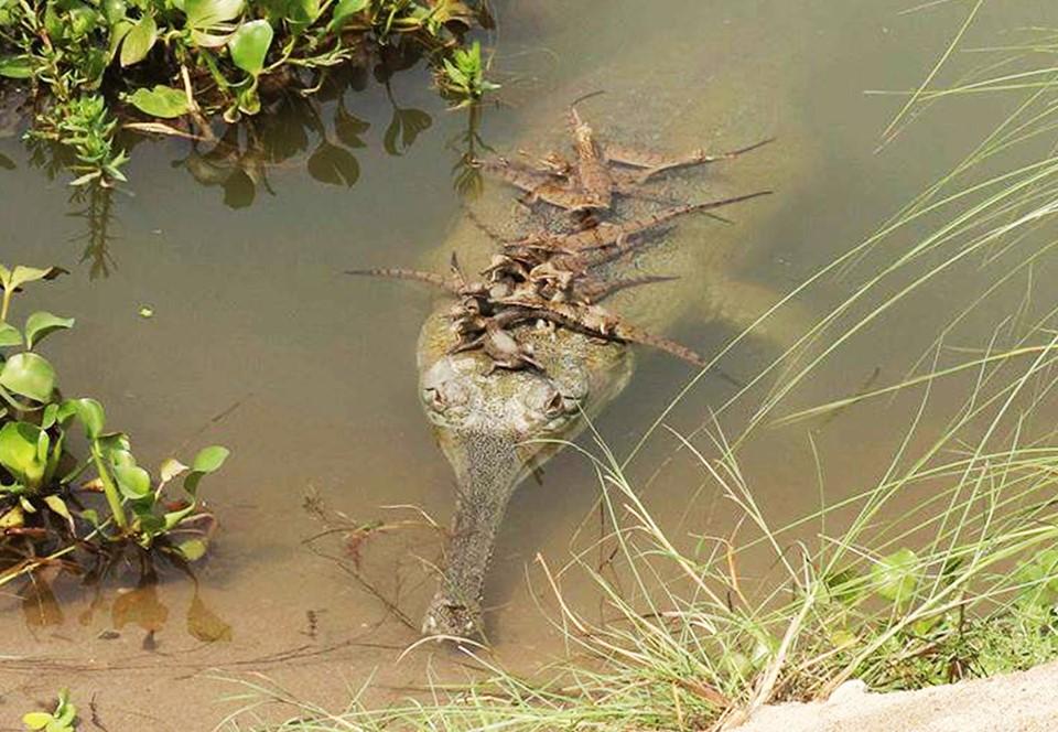 В Непале обнаружили колонию редких крокодилов гариалов
