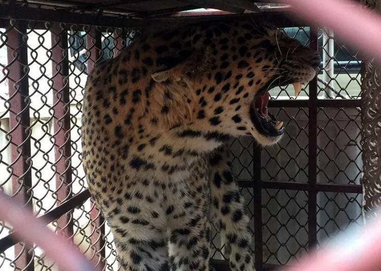 В Непале леопарды охотятся на детей
