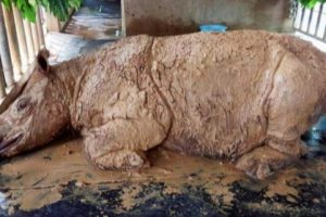 В Малайзии умер последний суматранский носорог