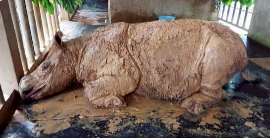 В Малайзии умер последний суматранский носорог.Вокруг Света. Украина