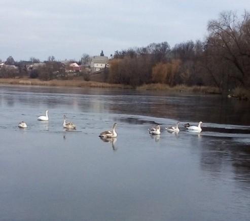 В Киевской области 15 лебедей вмерзли в пруд