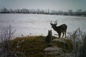 В Канаде хаски сбежала из дома к оленю