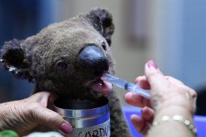 В Австралии спасают обгоревших коал