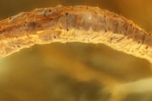 В кусочке янтаря возрастом 44 миллиона лет обнаружили новый вид гусеницы