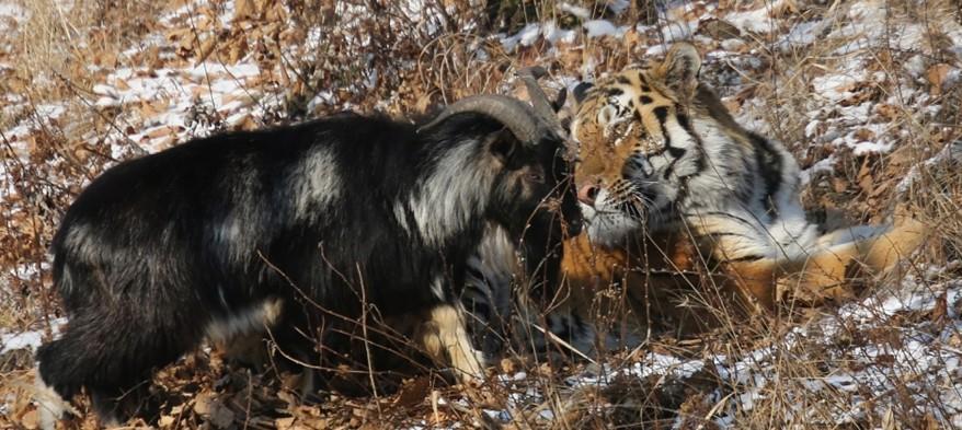 В России умер козел Тимур, прославившийся дружбой с тигром