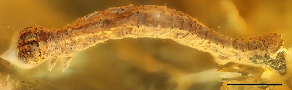 В кусочке янтаря возрастом 44 миллиона лет обнаружили новый вид гусеницы.Вокруг Света. Украина