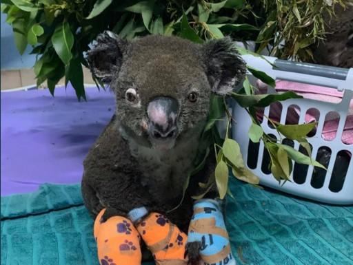 Пожары в Австралии уничтожили 80% среды обитания коал